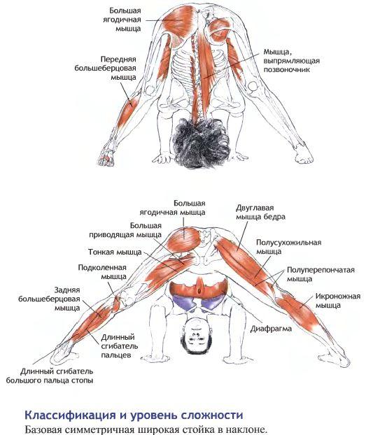 прасарита анатомия