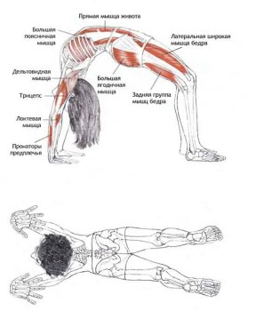 урдхва дханурасана анатомия