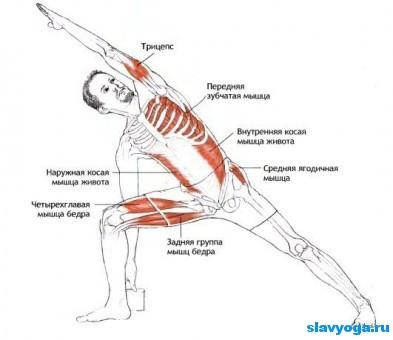 уттхита паршваконасана анатомия