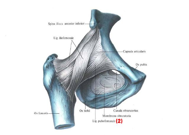 Изображение - Йога для раскрытия тазобедренных суставов stroenie-tazobedrennogo-sustava