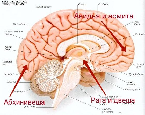 клеши локализация в мозге