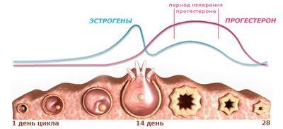 фазы женского цикла и гормоны