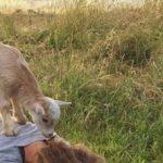 Йога с козлятами — новый тренд 2017 года