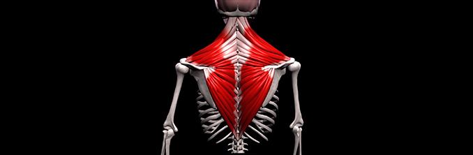 анатомия и функция трапециевидной мышцы