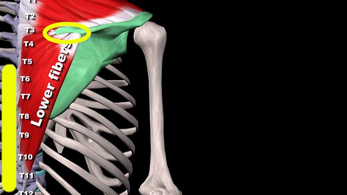 трапециевидная мышца нижняя