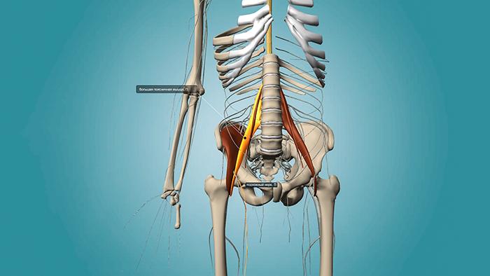 анатомия подвздошно-поясничной мышцы