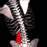 Квадратная мышца поясницы. Анатомия и фунцкии