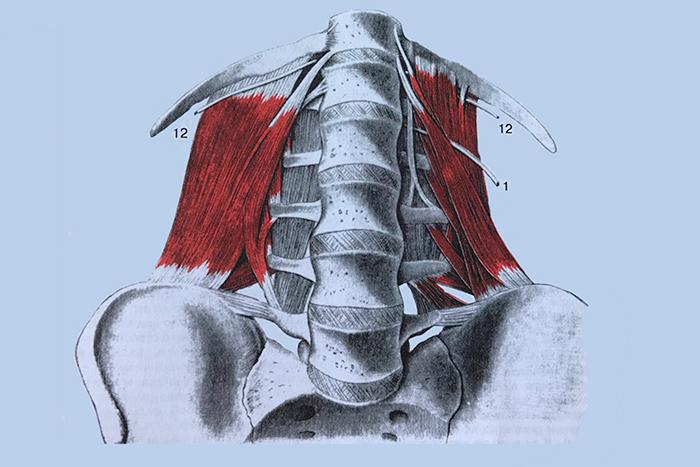 квадратная мышца поясницы фото