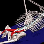 Подвздошно-поясничная мышца. Анатомия и функции
