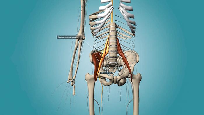подвздошно поясничная мышца
