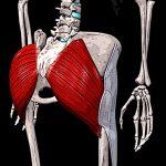 Большая ягодичная мышца | Анатомия и функции