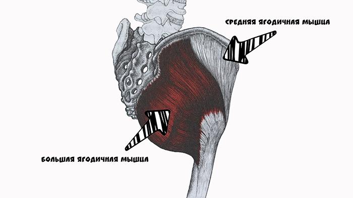большая ягодичная мышца анатомия