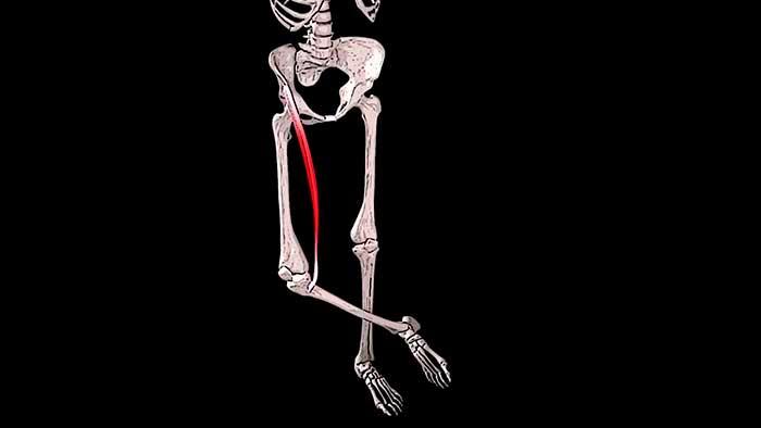 портняжная мышца бедра