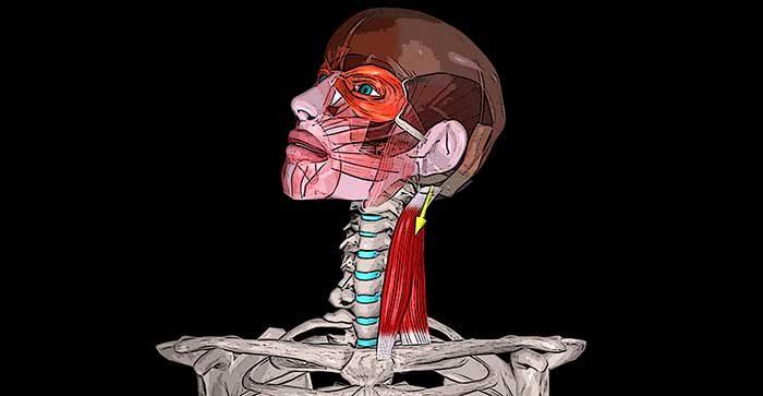 грудинно ключично сосцевидная мышца