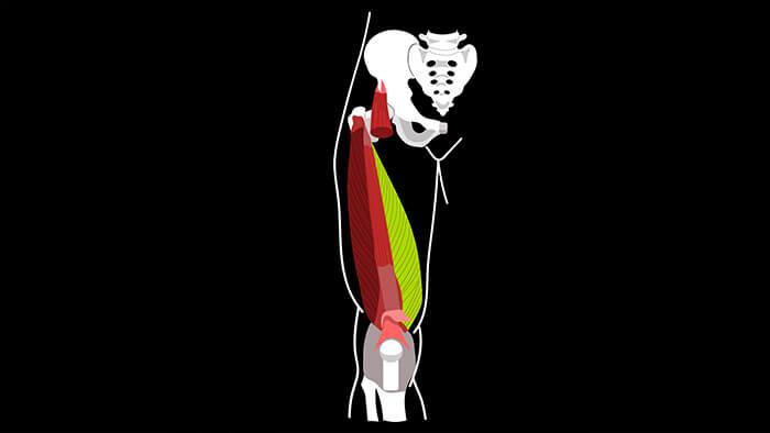медиальная широкая мышца бедра