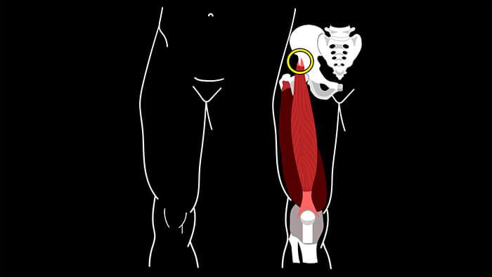 прямая мышца бедра анатомия