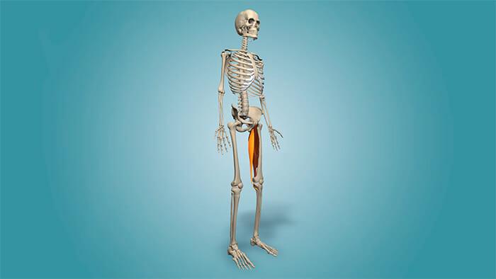 приводящие мышцы бедра анатомия